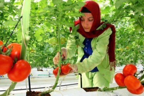 Только для крупных: россия назвала условия импорта турецких помидоров