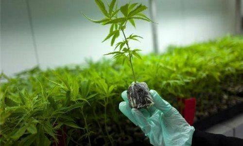 Вгреции решили выращивать марихуану ради подъема экономики - «новости дня»
