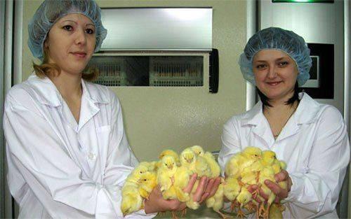 Знаменитые цыплята «рависа» снова в открытой продаже - «челябинская область»